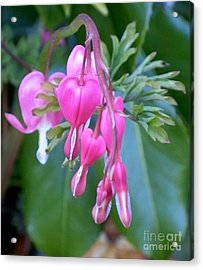 Bleeding Heart Acrylic Print by Vera Gadman