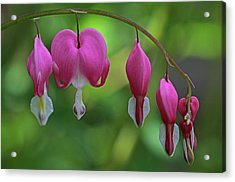 Bleeding Hearts On A Line Acrylic Print by Juergen Roth