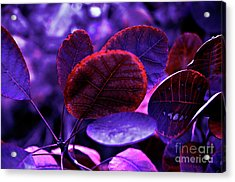 Acrylic Print featuring the photograph Bleeding Violet Smoke Bush Leaves - Pantone Violet Ec by Silva Wischeropp