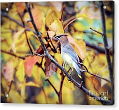 Acrylic Print featuring the photograph Blending In With Autumn - Cedar Waxwing by Kerri Farley