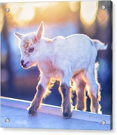 Little Baby Goat Sunset Acrylic Print