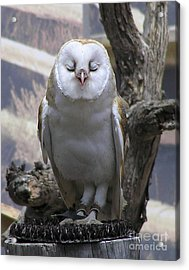 Blinking Owl Acrylic Print