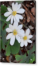 Blood Root Trio Acrylic Print