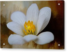 Bloodroot Acrylic Print by Diana Boyd