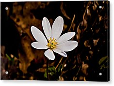 Bloodroot Bloom Acrylic Print by Michael Whitaker