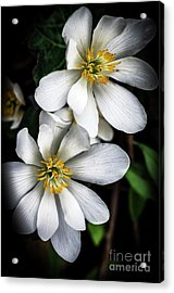 Acrylic Print featuring the photograph Bloodroot In Bloom by Thomas R Fletcher