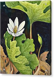 Bloodroot Acrylic Print by Margit Sampogna