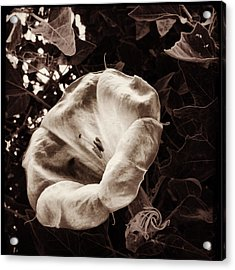Bloom In Sepia Acrylic Print