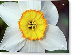 Bloom Of Narcissus Acrylic Print by Michal Boubin