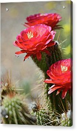 Acrylic Print featuring the photograph Bloomin' Cacti by Barbara Manis