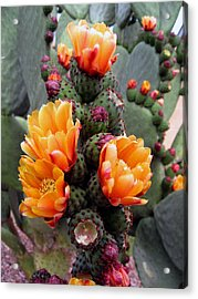 Blooming Cactus Acrylic Print by Harvie Brown