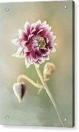 Blooming Columbine Flower Acrylic Print