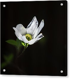 Blooming Dogwoods In Yosemite 3 Acrylic Print by Larry Marshall