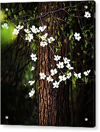 Blooming Dogwoods In Yosemite Acrylic Print by Larry Marshall
