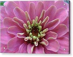 Blooming Flower Acrylic Print