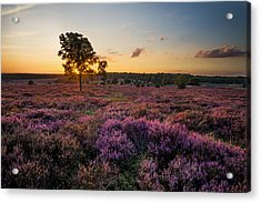 Blooming Heather Acrylic Print