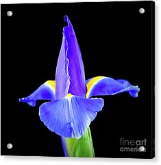 Blooming Iris 1318-1 Acrylic Print