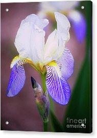 Blooming Iris Acrylic Print by Shawn Bamberg