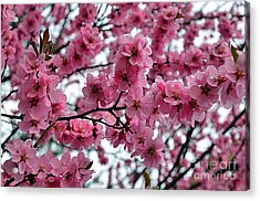 Blooming Lilacs A Symbol Of Spring Acrylic Print