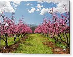 Blooming Peach Orchard 1 Acrylic Print