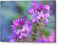 Acrylic Print featuring the photograph Blooming Phlox by Alana Ranney