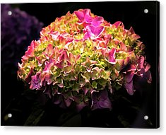 Acrylic Print featuring the photograph Blooming Pink Hydrangea by Onyonet  Photo Studios