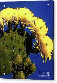 Blooming Prickly Pear Acrylic Print