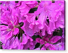 Blooming Rhododendron Acrylic Print
