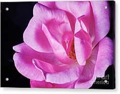 Blooming Rose Acrylic Print