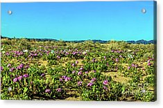 Acrylic Print featuring the photograph Blooming Sand Verbena by Robert Bales