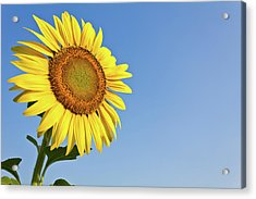 Blooming Sunflower In The Blue Sky Background Acrylic Print