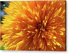 Blooming Sunshine Acrylic Print by Marie Leslie