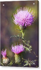 Blooming Thistle Acrylic Print
