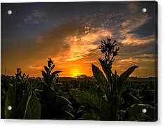 Blooming Tobacco Acrylic Print