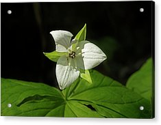 Acrylic Print featuring the photograph Blooming Trillium by Mike Eingle