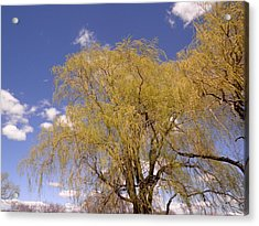 Blooming Weeping Willow Acrylic Print by Kate Gallagher