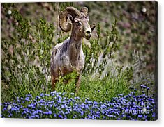 Blooms And Bighorn In Anza Borrego Desert State Park  Acrylic Print