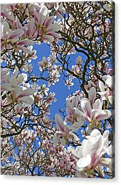 Blossom Magnolia White Spring Flowers Photography Acrylic Print by Artecco Fine Art Photography