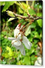 Blossom Acrylic Print by Mark Stevenson