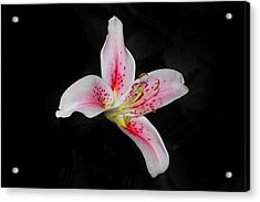 Blossom On Black Acrylic Print