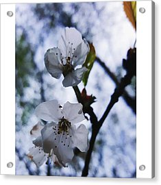 #blossom #spring #macro #flower #pretty Acrylic Print by Natalie Anne
