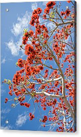 Blossoming Coral Tree Acrylic Print by Julia Hiebaum