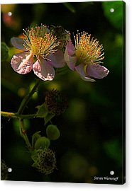 Blossoms 3 Acrylic Print by Steve Warnstaff