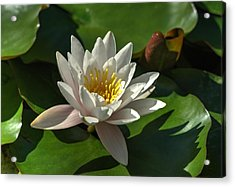 Blossoms And Lily Pads 8 Acrylic Print