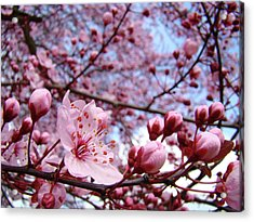 Blossoms Art Blue Sky Spring Tree Blossoms Pink Giclee Baslee Troutman Acrylic Print by Baslee Troutman