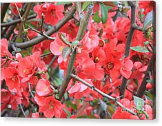 Blossoms Branches And Thorns Acrylic Print by Carol Groenen