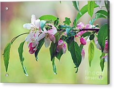Acrylic Print featuring the photograph Blossoms In Spring by Lila Fisher-Wenzel