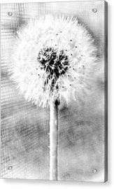 Blowing In The Wind Pencil Effect Acrylic Print