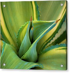 Blue Agave Acrylic Print by Karen Wiles
