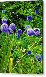 Blue Allium Flowers Acrylic Print